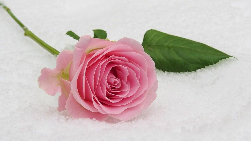 rose-3142660_960_720
